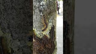 Dancing caterpillar