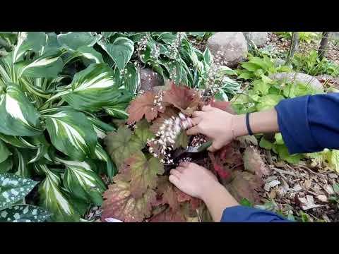 видео: Хосты, гейхеры, астильбы. Сорта и уход за хостами, гейхерами и астильбами летом.