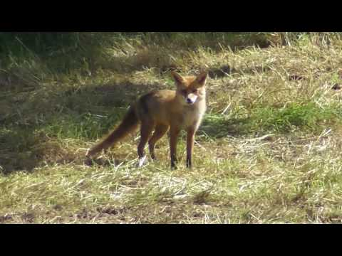 Vixen Fox Warning Call