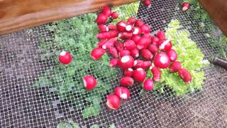 Washing radishes on the vegetable garden washing table station