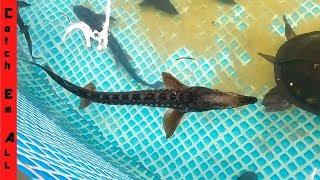 ANCIENT DINOSAUR FISH Alive RAISING and FEEDING BABIES!