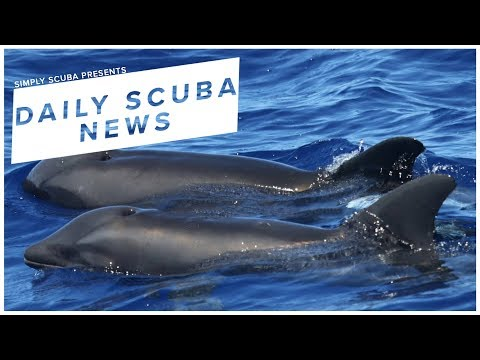 Daily Scuba News - New Dolphin Whale Hybrid Has Been Found