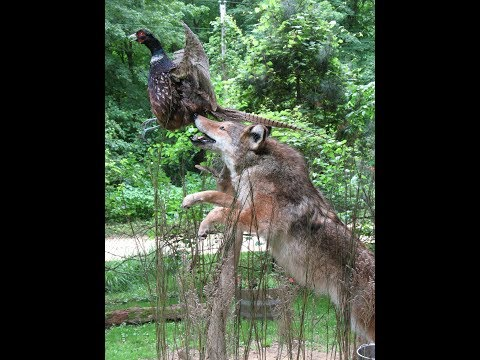 COYOTE - Taxidermy Ready Hide - VIDEO 1 OF 2