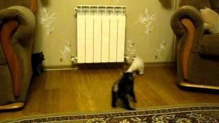 Котята курильского бобтейла в Новосибирске.avi