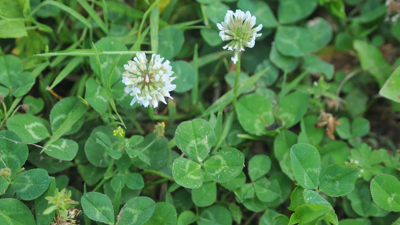 Controlling Clover In Your Yard Youtube