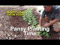 Planting Pansies in Newly Prepared Beds - Planting Annual Flowers Quickly