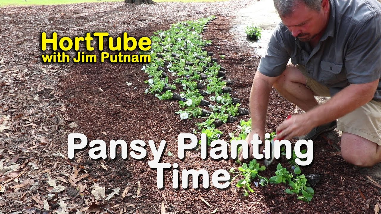 Planting Pansies In Newly Prepared Beds