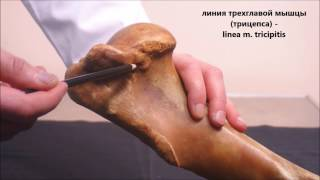 лопатка и плечевая кость домашних животных