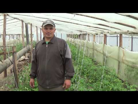 НИЗКОРОСЛЫЕ ТОМАТЫ: ФОРМИРОВАНИЕ КУСТА,ПОДВЯЗЫВАНИЕ, ЗАЩИТА ОТ БОЛЕЗНЕЙ. | низкорослые | выращивание | помидоры | томатов | помидор | томаты