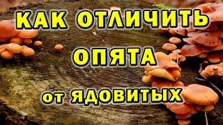 Как отличить опята ложные от настоящих - Съедобный гриб