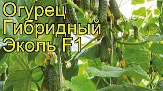 Огурец гибридный Эколь F1 (Ekol F1). Краткий обзор, описание характеристик, где купить семена