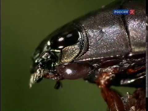 Водяные насекомые. Страсти по насекомым.