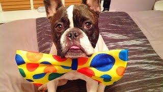 French Bulldog Fancy Dress!