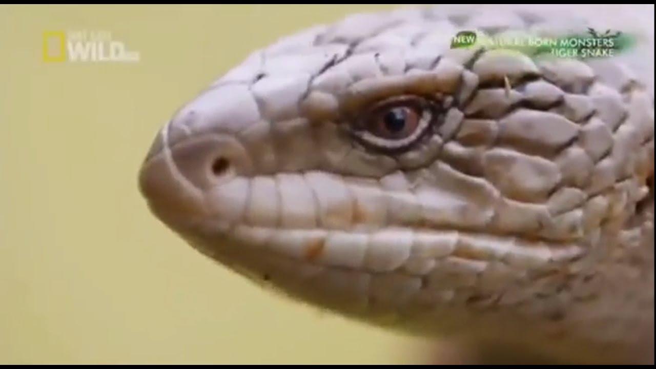 สารคดีตำนานสัตว์แห่งท้องทะเล ตอน งูยักษ์ Anaconda Snake