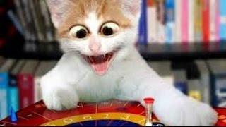 gato mas gracioso del mundo
