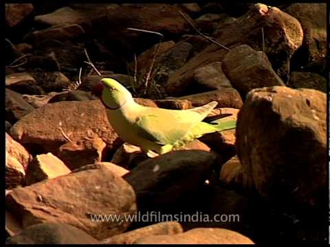 Rose-ringed Parakeet drinking water from stream in Sariska