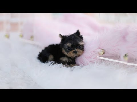 Cutest Teacup Yorkie Puppies Video Compilation