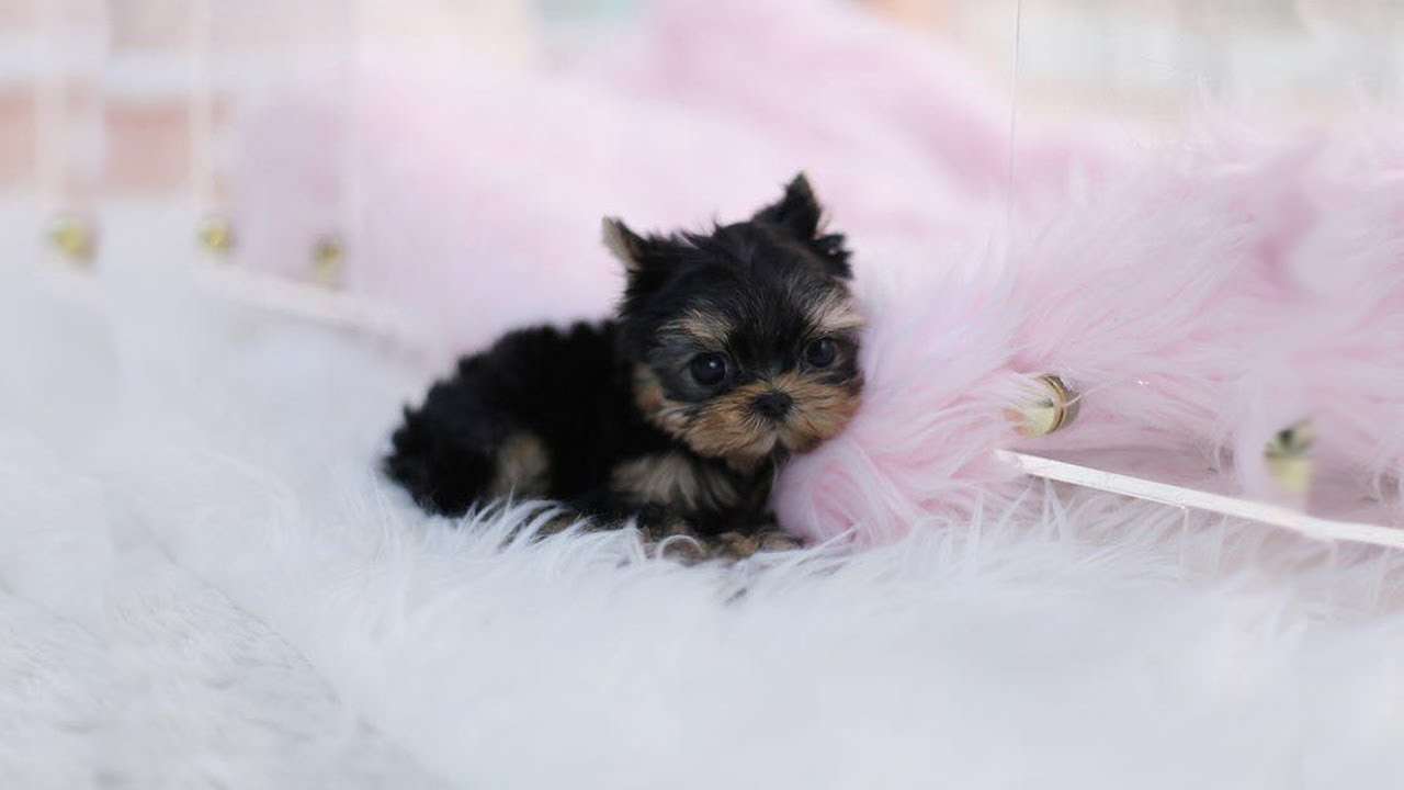 Cutest Teacup Yorkie Puppies Video