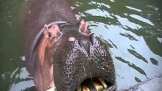 nijlpaard voeren