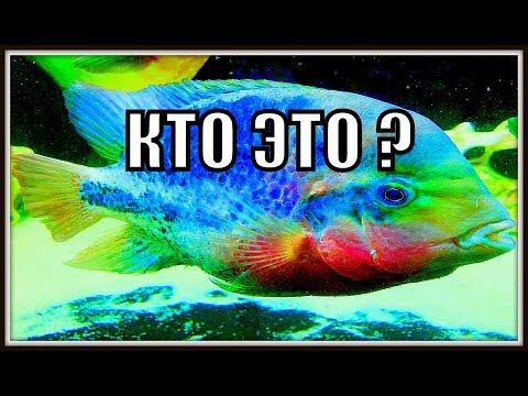 Разновидности цихлид в аквариуме