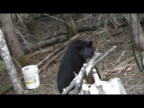 2019 Northern Ontario Bear Hunt