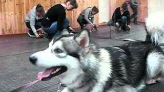 видео клубы дрессировки собак