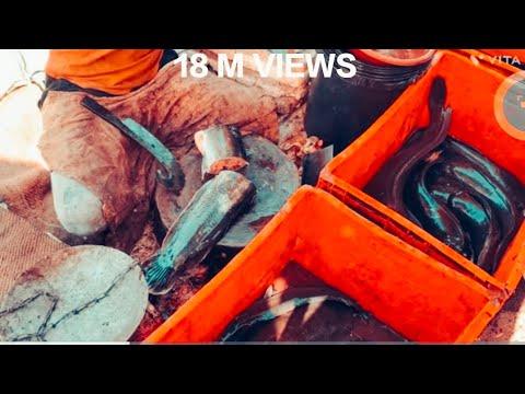 Walking Catfish(mangoor)cutting Style Fish Market (2)