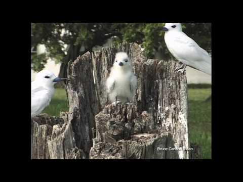 Midway island: White tern