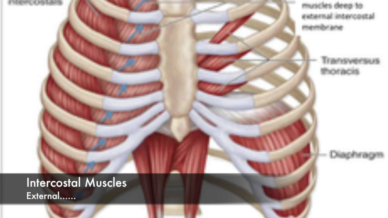 Gross Anatomy of Skeletal muscles - YouTube