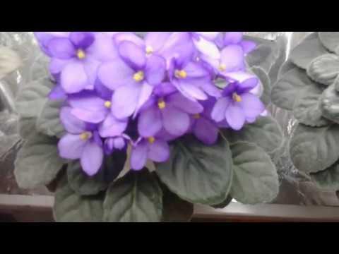 Как обеспечить цветение фиалок 10 месяцев в году.