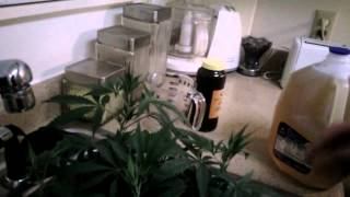 Using molasses in my marijuana grow