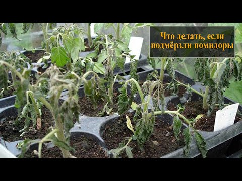 Что делать если подмерзли помидоры