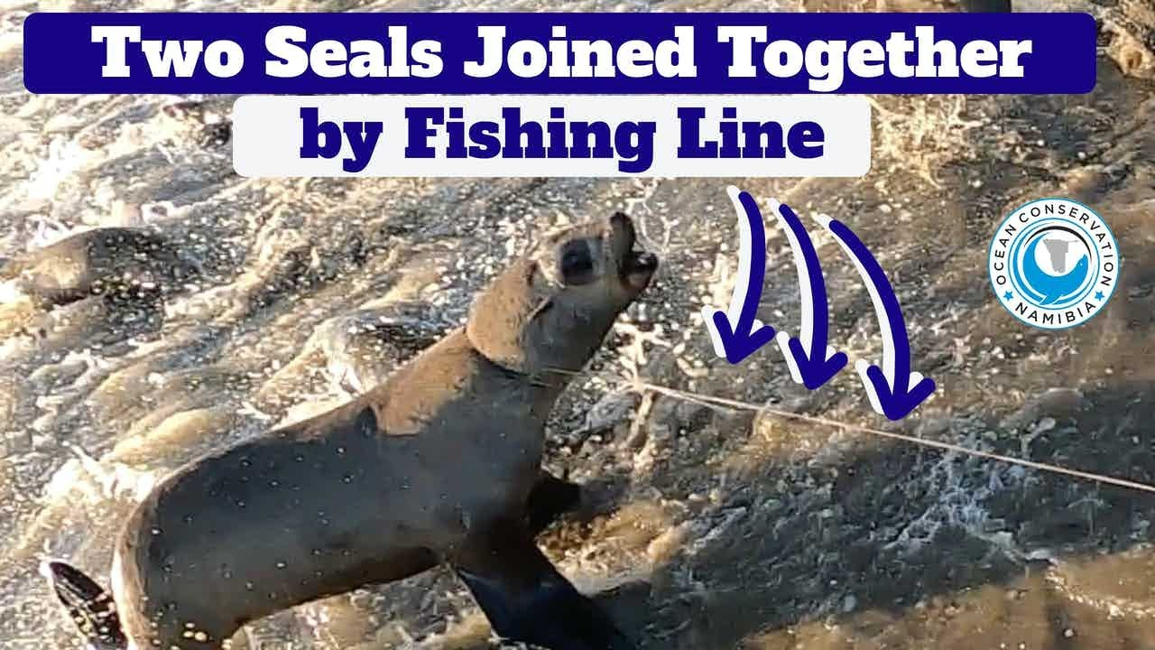 Two Seals Joined Together By Fishing Line
