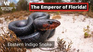 Finding an Eastern Indigo Snake!