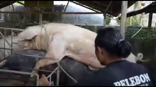 Kegagalan Mengawinkan Babi versi Gunung (TR)
