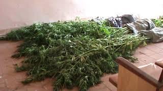 Житель Нижней Салды выращивал на своем участке коноплю