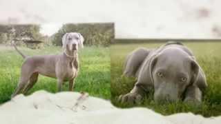 How To Train Weimaraner