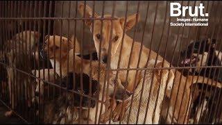 Chine : le festival de la viande de chien de Yulin