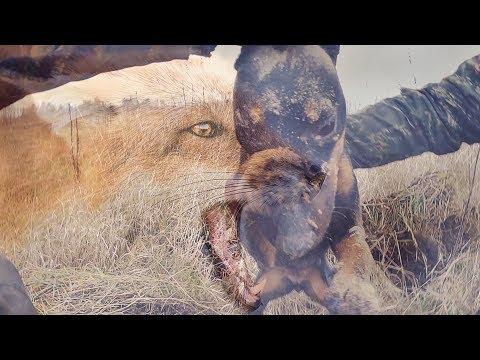 Охота на зайца 2019. Ягдтерьер схватил лису за хвост. Охота в Беларуси