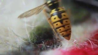 Canon 500d видео (макро)(при снятии видео не одна пчела не пострадала., 2012-06-08T14:43:00.000Z)