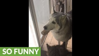 Stubborn husky furious he can't bury his treat outside