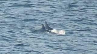 なんていう名前のイルカ?口が白い 屋久島 yakushima