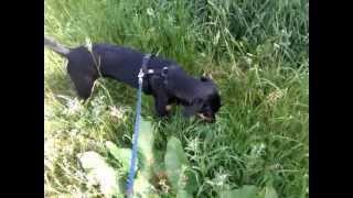 Rambo Aus Berlin (3) - Rambo Geht Gassi - Pinscher Hund Welpen Doberman RasenmÄher