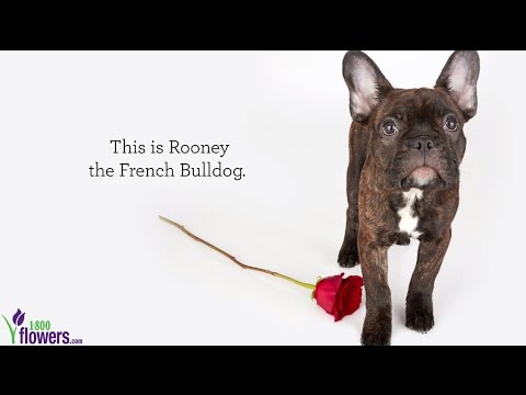 Rooney The French Bulldogs Valentines Day Adventure Youtube