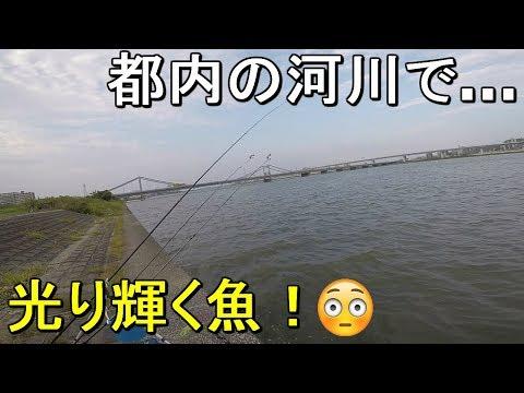 【荒川河口】都内の一級河川で釣りしてみたら白銀に輝く神秘的で美しい魚が…!【2019.08.18】