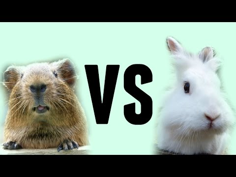 Guinea Pigs VS Rabbits (as pets)