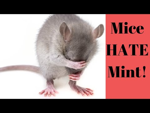 Essential Oils To Get Rid Of Mice! Best Mouse Repellent!