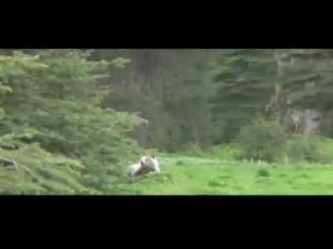 Raw Video Grizzly Bears Charge Camera Man YouTube - Guy captures first person video of the moment a bear attacks him