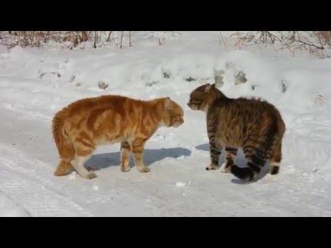 весна,коты выясняют отношения