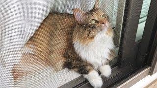 外見るのが大好きな猫の前で窓開けたら閉めるのが大変だったw